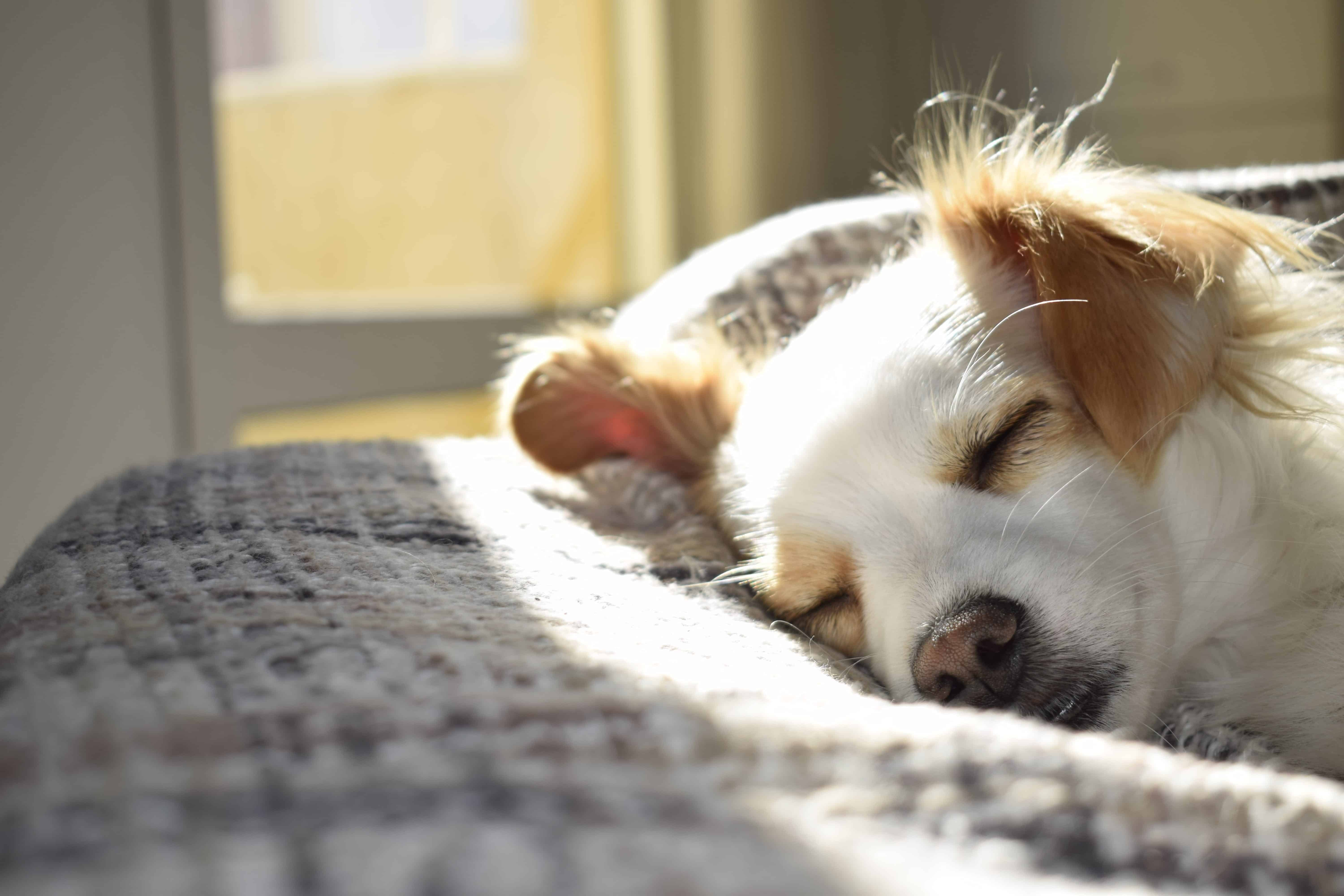 Relaxed white and brown dog