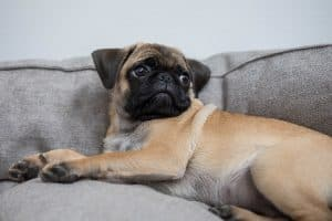 Top 4 Small Dogs for Small Apartments